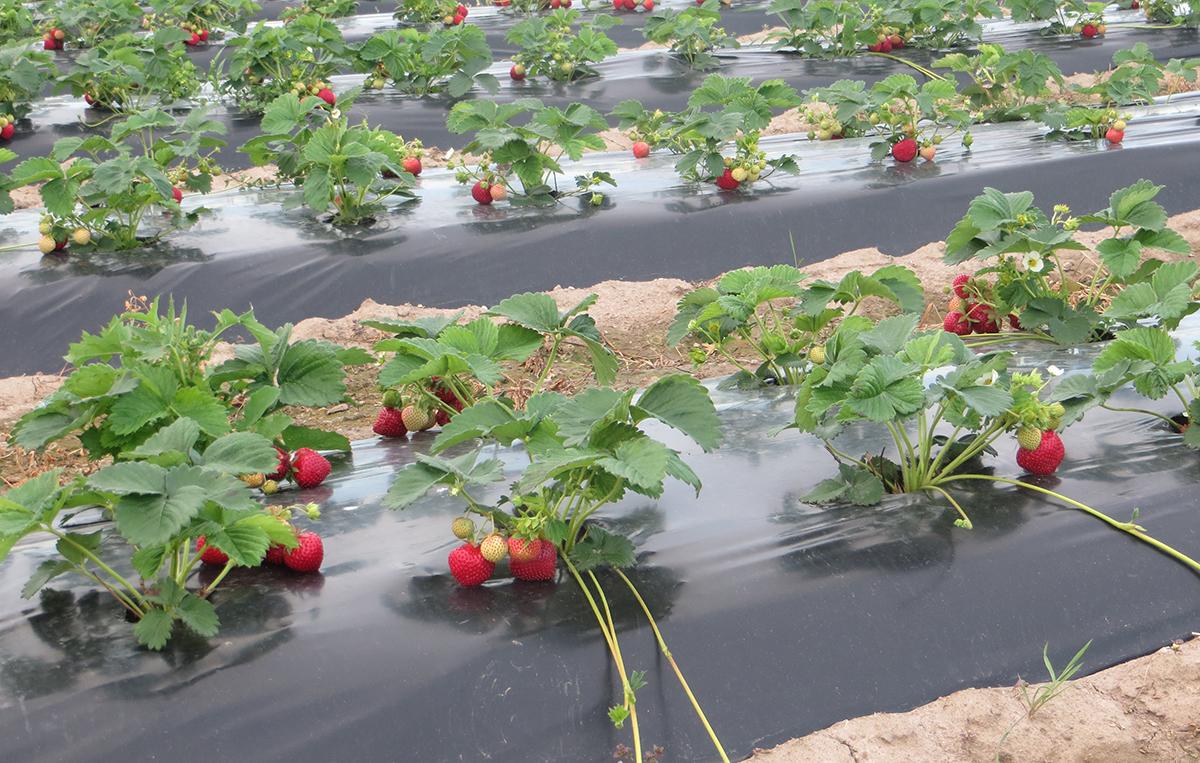 Neimann Grupis rajatakse uusi maasikapõlde masinaga